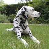 Mico (Dalmatiner)