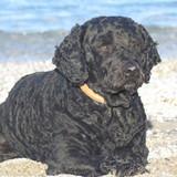 Truco (Perro De Agua Portugués)