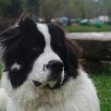 Pedro (Landseer (europäisch-kontinentaler Typ))