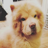 Jeyko (Chow Chow)