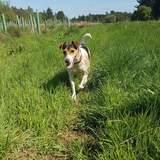 Robbie - Jack Russell Terrier
