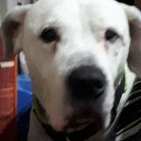 Bruk (Dogo Argentino)
