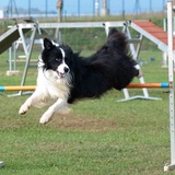 Rayo (Border Collie)