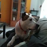 Kimbo - American Staffordshire Terrier