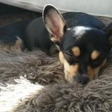 Cleo - Chihuahua