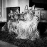 Gucci (Australian Terrier)