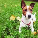 Chopper (Jack Russell Terrier)