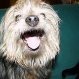 Téo (Yorkshire Terrier)
