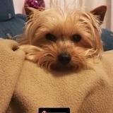Maya - Yorkshire Terrier