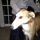 Perry (Galgo)