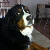 Duna (Berner Sennenhund)