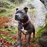 Petra (Staffordshire Bull Terrier)