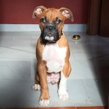 Aisha (Boxer)