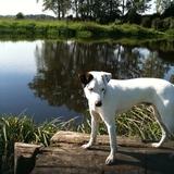 Anton (Parson Russell Terrier)