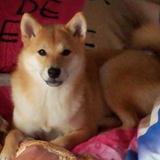 Hoshi (Shiba)