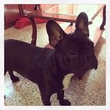 Paco - Bulldog Francés