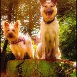 Lady (Australian Silky Terrier)