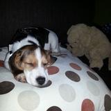 Odie (Beagle)