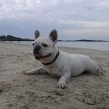 Zhola (Bulldog Francés)