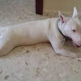 Luna (Bull Terrier)