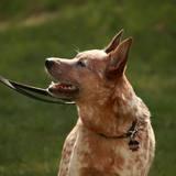 Atari (Australischer Treibhund)