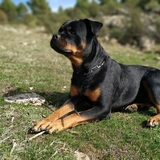 Nora (Rottweiler)