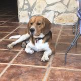 Pope - Beagle