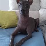 Wayra (Perro sin pelo del Perú)