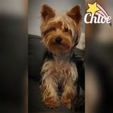 Chloe - Yorkshire Terrier