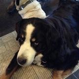 Zoe (Berner Sennenhund)
