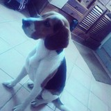 Horus - Beagle