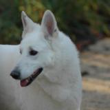 Thao (Berger Blanc Suisse)