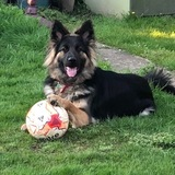 Jodie (German Shepherd Dog)