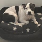 Lolli (Staffordshire Bull Terrier)