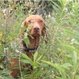 Lisa (Kurzhaariger Ungarischer Vorstehhund)