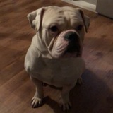 Ricco (Englische Bulldogge)