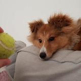 Luna (Shetland Sheepdog)