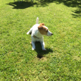 Beth (Jack Russell Terrier)