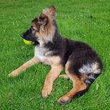 Millie (German Shepherd Dog)