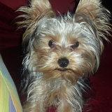 Gufy (Yorkshire Terrier)