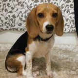 Shiva - Beagle