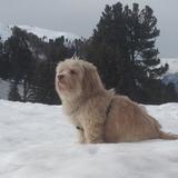 Cookie  (Petit chien lion)