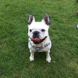 Lulu (French Bulldog)