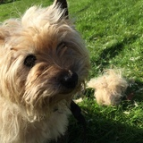 Rusty (Cairn Terrier)