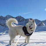 Héliot (Husky Sibérien)