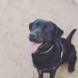 Floki - Labrador Retriever