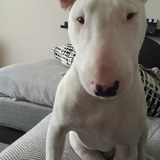 Conor - Bull Terrier