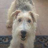 Tuski (Fox Terrier De Pelo Duro)