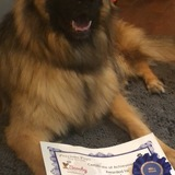 Dexter (German Shepherd Dog)