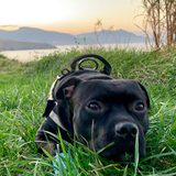Brunno (Staffordshire Bull Terrier)